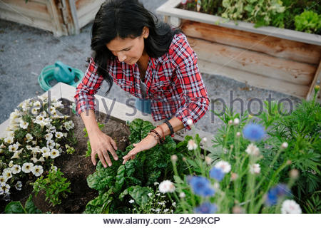 Woman tending to plants and flowers in community garden - Stock Photo