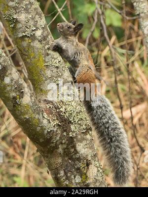 Guayaquil squirrel (Sciurus stramineus) in the Podocarpus National Park, Vilcabamba, Ecuador - Stock Photo