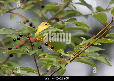Female Yellow Warbler in Alaska - Stock Photo