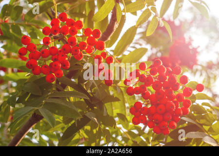 Bright, ripe and juicy red mountain ash hangs on branches in the summer in sunny weather. You can see a bright sky and green leaves on a tree. - Stock Photo