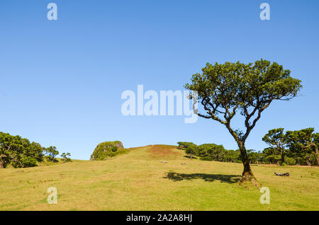 Amazing Fanal in Madeira Island, Portugal. Located in the plateau of Paul da Serra surrounded by the Laurissilva Forest. Old laurel tree photographed on a clear sunny day. Copy space for text. - Stock Photo