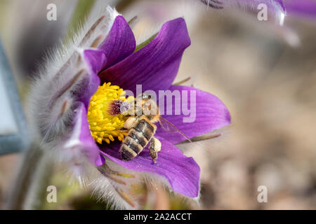 Pulsatilla vulgaris (pasque flower, pasqueflower) is a species of flowering plant belonging to the buttercup family (Ranunculaceae), found locally on - Stock Photo
