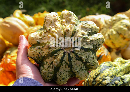 Pumpkin on the farm market. Hands take a pumpkin. - Stock Photo