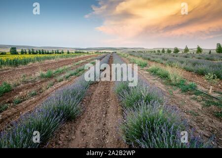 Lavender field El Pobo Teruel Aragon Spain. - Stock Photo