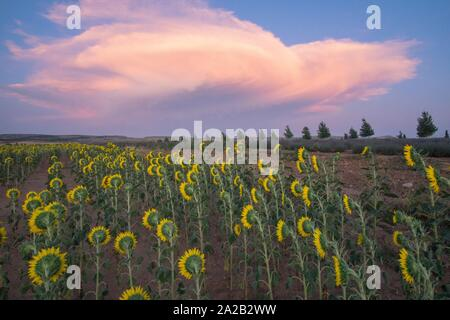 Field of sunflowers sunset clouds El Pobo Teruel Aragon Spain.