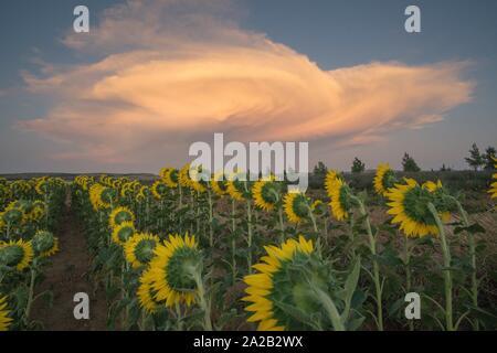 Field of sunflowers sunset clouds El Pobo Teruel Aragon Spain. - Stock Photo