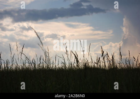 Surface level shot of Tall Fescue on a cloudy day. - Stock Photo