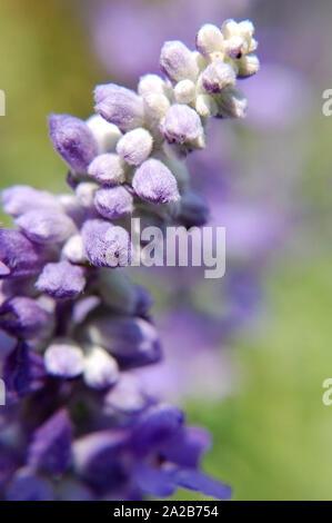 Macro shot of Sweet Iris (Iris pallida). - Stock Photo