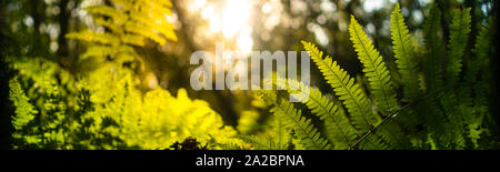 Panoramic of a woodland undergrowth in Autumn at sunrise in the English countryside - Stock Photo