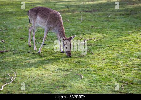 A young Fallow doe deer grazing on grass.