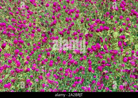 Flowers of red clover in summer field. Red blooming flowers in meadow. Pink clovers on green grass. Wild violet flowers. Field blossoming plants. - Stock Photo