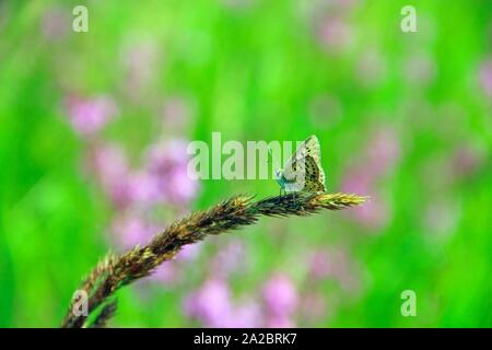 Butterfly of Silver-studded blue sitting on dry blade close up. Summer insect. Small butterfly in summer. - Stock Photo