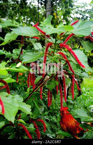 Close up Love-Lies-Bleeding, amaranthus caudatus annual flowering plant also known as pendant amaranth, tassel flower, velvet flower, foxtail amaranth - Stock Photo
