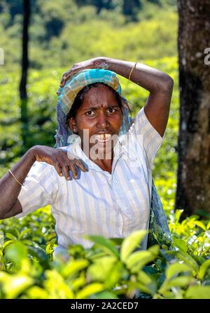 NUWARA ELIYA, SRI LANKA -04 JANUARY 2012: Tamil woman from Sri Lanka breaks tea leaves on tea plantation with the traditional tea plucking method. - Stock Photo