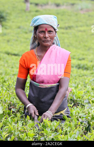 NUWARA ELIYA, SRI LANKA -04 JANUARY 2012: Tamil woman from Sri Lanka breaks tea leaves on tea plantation with the traditional tea plucking method. - Stock Photo