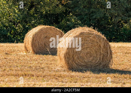 Recently baled, large round grass hay bales sitting in field on a sunny fall day with trees in background - Stock Photo