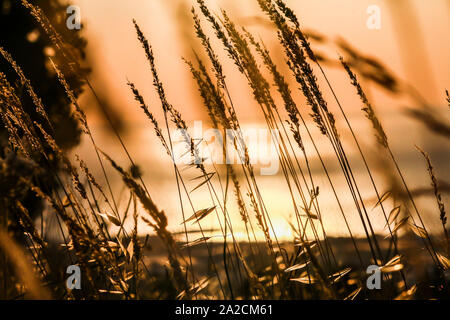 Beautiful nature sunset landscape. Ears of golden wheat close up. Rural scene under sunlight. Summer background of ripening ears of agriculture landsc - Stock Photo