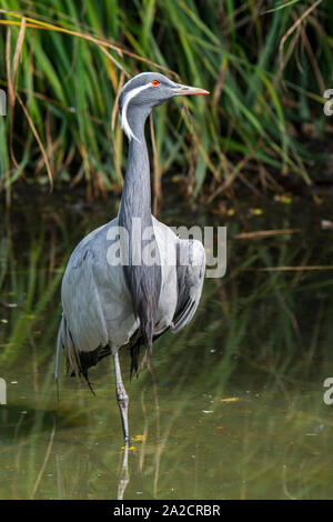 Demoiselle crane (Grus virgo / Anthropoides virgo) resting on one leg in pond, migratory bird native to Eurasia, Asia, Mongolia and China - Stock Photo