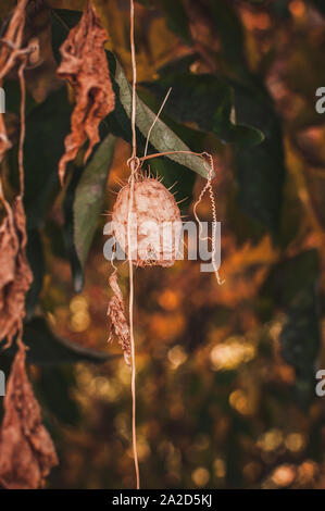 Echinocystis lobata (wild cucumber, spiny cucumber), invasive plant species, fruit dry capsule on oak in the fall. - Stock Photo