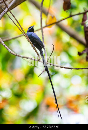 Male Seychelles Paradise Flycatcher, La Digue, Seychelles - Stock Photo