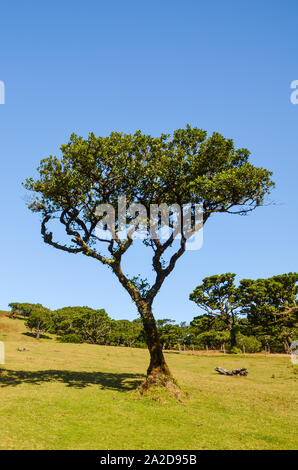 Old laurel tree in Fanal, Madeira Island, Portugal. Fanal is located in the plateau of Paul da Serra surrounded by the Laurissilva Forest. Natural heritage. Photographed on a clear sunny day. - Stock Photo
