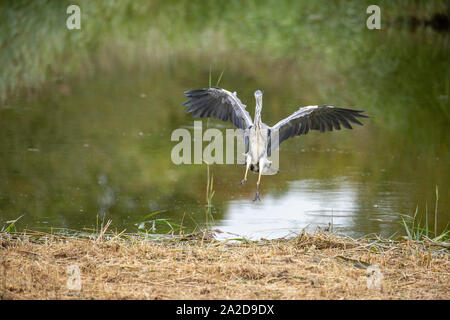 Grey Heron coming in to land - Stock Photo