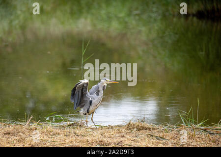 Grey Heron - Stock Photo