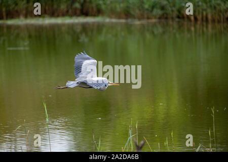 Grey Heron flying low over water. - Stock Photo