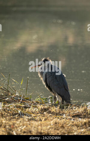 Backlit Grey Heron - Stock Photo