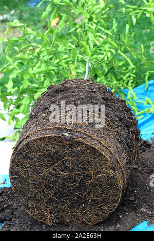 Kaffir lime Citrus hystrix  plant showing roots and soil, ready to be replanted in a new pot - Stock Photo