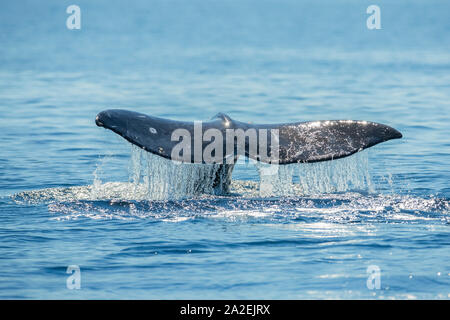 Gray whale, Eschrichtius robustus, raising fluke before diving, on southern migration to calving lagoons in Baja, San Diego, California, USA, Pacific - Stock Photo