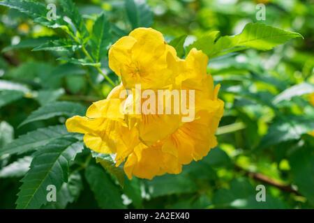 Yellow trumpetbush a.k.a. yellow bells (Tecoma stans) closeup - Florida, USA