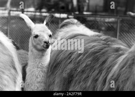 Lamas im Stuttgarter Zoo Wilhelma, Deutschland 1930er Jahre. Llamas in Stuttgarts´s zoo Wilhelma, Germany 1930s. - Stock Photo