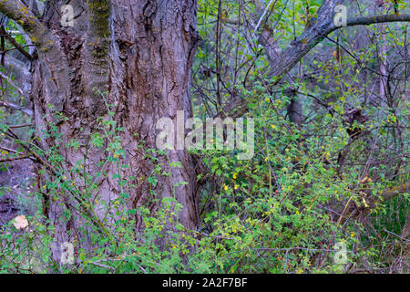 Alamos forest in the village of Benizar, in Moratalla, Murcia (Spain) - Stock Photo