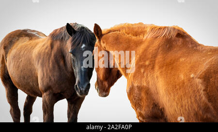 Two horses head to head isolated on white - Stock Photo