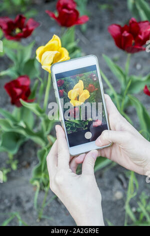 Girl photographs on her phone a beautiful yellow tulip (tulipa), which grows among the bright red flowers. - Stock Photo