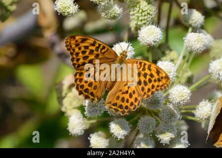 Single High Brown Fritillary Butterfly, Fabriciana adippe, on Common Hogweed, Heracleum sphondylium - Stock Photo