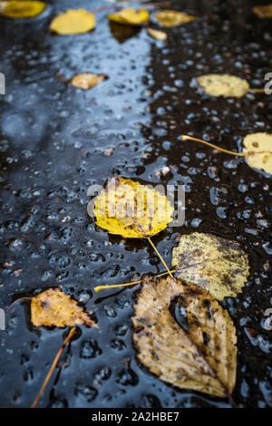 Beautiful fallen, yellow leaves lie on the wet asphalt after the rain. Close-up. - Stock Photo