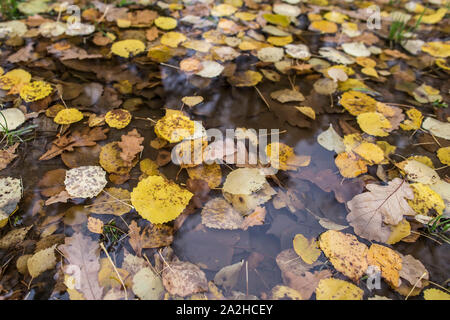 Yellow autumn leaves in a rain puddle. Close-up. - Stock Photo