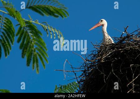 White Stork in nest on blue sky background - Stock Photo
