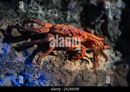 Stuffed red crab on rocky ocean bottom. Vibrant red coloured crab with big claws, seafood, shellfish. - Stock Photo