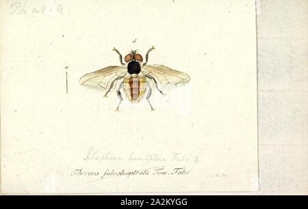 Alophora, Print, Phasia is a genus of flies in the family Tachinidae - Stock Photo
