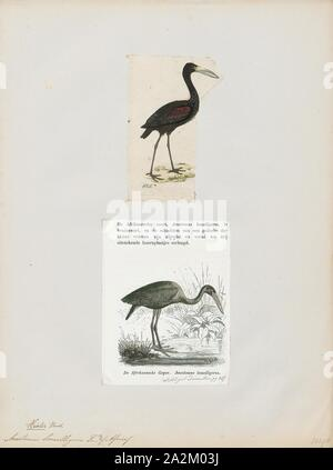 Anastomus lamelligerus, Print, The African openbill (Anastomus lamelligerus) is a species of stork in the family Ciconiidae. It is native to large parts of sub-Saharan Africa., 1700-1880 - Stock Photo