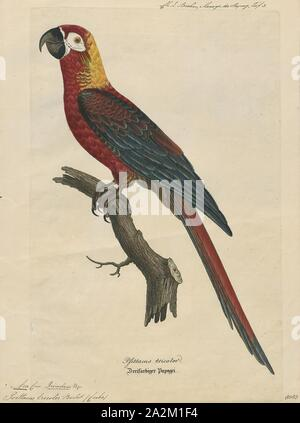 Ara tricolor, Print, The Cuban macaw or Cuban red macaw (Ara tricolor) was a species of macaw native to the main island of Cuba and the nearby Isla de la Juventud that became extinct in the late 19th century. Its relationship with other macaws in its genus was long uncertain, but it was thought to have been closely related to the scarlet macaw, which has some similarities in appearance. It may also have been closely related, or identical, to the hypothetical Jamaican red macaw. A 2018 DNA study found that it was the sister species of two red and two green species of extant macaws., 1842-1855 - Stock Photo