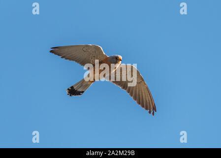 Lesser kestrel (Falco naumanni) male flying - Stock Photo