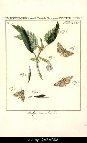 Botys, Print, Pyrausta is a specious genus of moths of the family Crambidae. The genus was erected by Franz von Paula Schrank in 1802 - Stock Photo
