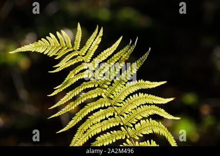 Polypodiopsida, Close-up of fern leaves - Stock Photo