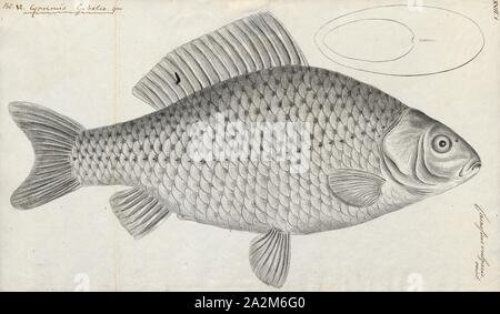 Carassius vulgaris var. gibelio, Print, Carassius is a genus in the ray-finned fish family Cyprinidae. Most species in this genus are commonly known as crucian carps, though this term often specifically refers to C. carassius. The most well known is the goldfish (C. auratus). They have a Eurasian distribution, apparently originating further to the west than the typical carps (Cyprinus), which include the common carp (C. carpio)., 1774-1804 - Stock Photo