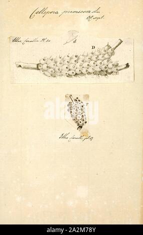 Cellepora pumicosa, Print - Stock Photo