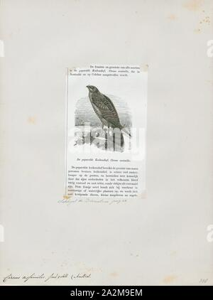 Circus assimilis, Print, The spotted harrier (Circus assimilis) also known as the smoke hawk, is a large Australasian bird of prey belonging to the family Accipitridae., 1872 - Stock Photo